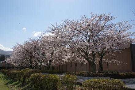 修道院桜並木満開