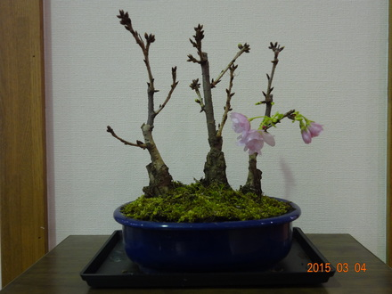 2015.3.4桜